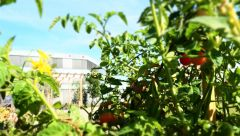 This image shows tomatoes in the CODICO Central Park.